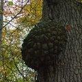 Broussin de chêne