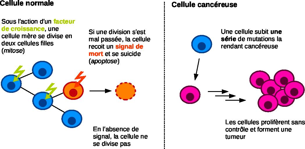 Prolifération d'une cellule normale ou cancéreuse